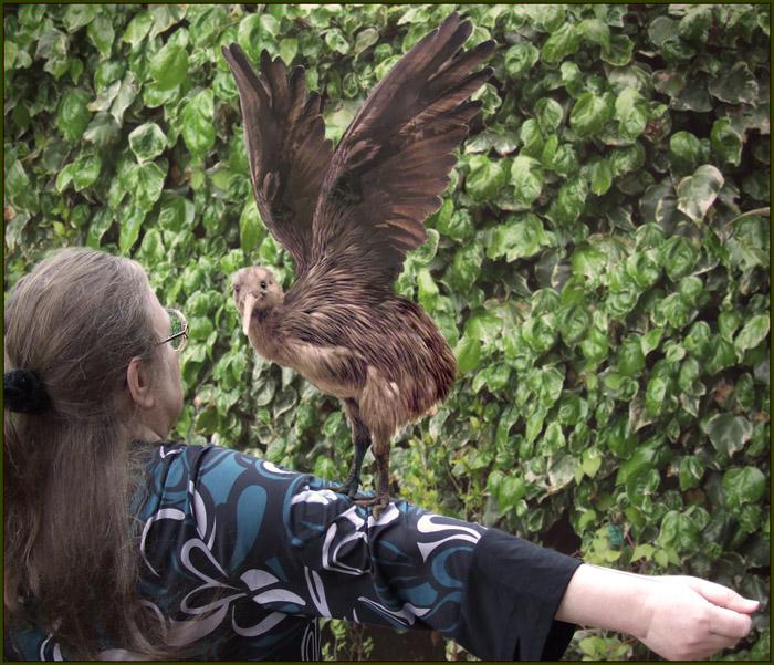 Full Grown Kiwi Bird